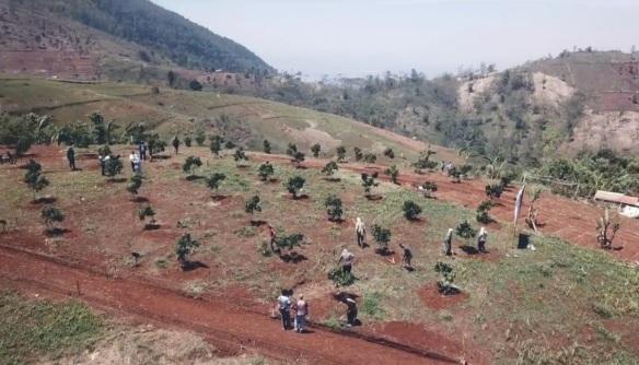 Penanaman pohon kelengkeng Investasi Tanah Kavling Kebun KTC