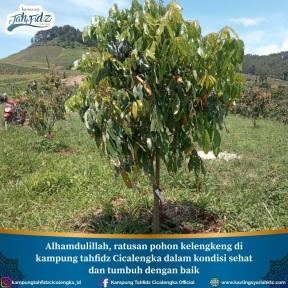 pohon kelengkeng yang sedang berbuah